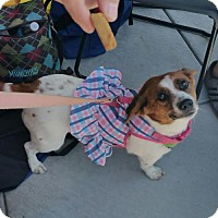 Adopt A Pet :: Dolly - Columbia, MD