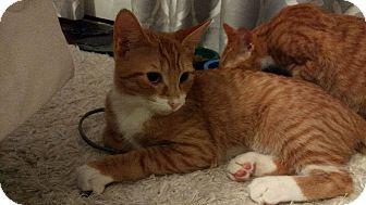 Domestic Shorthair Kitten for adoption in Chesapeake, Virginia - Koopa