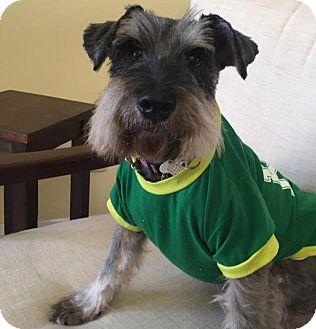Schnauzer (Miniature) Dog for adoption in Redondo Beach, California - Donald
