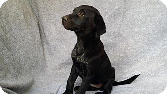 Sheltie, Shetland Sheepdog/Border Collie Mix Puppy for adoption in Danbury, Connecticut - Trista
