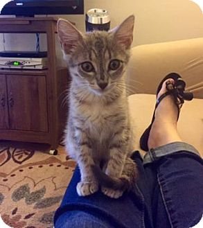 Domestic Shorthair Kitten for adoption in Bulverde, Texas - Abigail