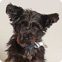 Adopt A Pet :: Gargoyle - Walnut Creek, CA