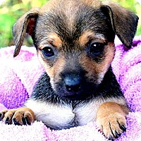 Adopt A Pet :: CUDDLES(TINY DOXLE LITTLE GIRL - Wakefield, RI
