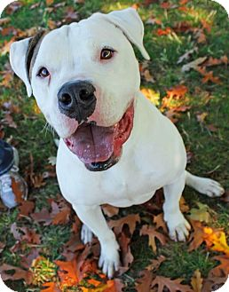American Bulldog/Boxer Mix Puppy for adoption in Lincoln, California - Sammy-FOSTER NEEDED!!