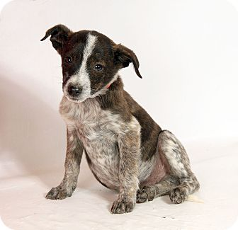 Australian Cattle Dog Mix Puppy for adoption in St. Louis, Missouri - Harlow Heeler