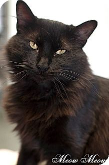 Domestic Longhair Cat for adoption in Manahawkin, New Jersey - Meow Meow