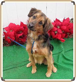 Saluki Mix Dog for adoption in Marietta, Georgia - ZORRO