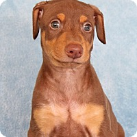 Adopt A Pet :: Vixen - Encinitas, CA