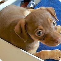 Chihuahua Puppy for adoption in Lakewood, Colorado - Princess Alicia