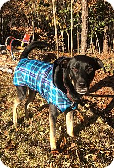 German Shepherd Dog/Labrador Retriever Mix Dog for adoption in Fort Mill, South Carolina - Max