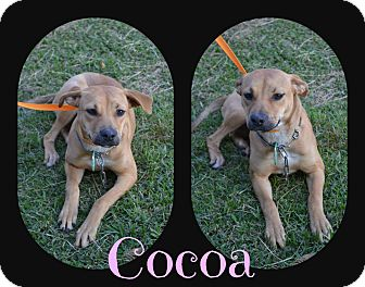 Black Mouth Cur Mix Dog for adoption in Beaumont, Texas - Cocoa