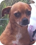 Chihuahua Mix Dog for adoption in Orlando, Florida - Freddie