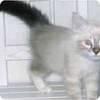 Adopt A Pet :: Persia - Brea, CA