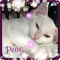 Adopt A Pet :: Pear - Bradenton, FL
