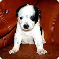 Adopt A Pet :: Jet - Austin, TX