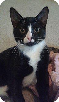 Domestic Shorthair Kitten for adoption in Schertz, Texas - Angel RA