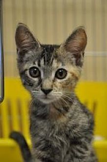 Domestic Shorthair Kitten for adoption in Pompano Beach, Florida - CousCous