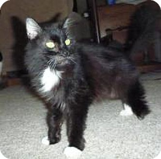 Domestic Longhair Cat for adoption in Cincinnati, Ohio - Amelia