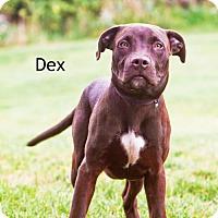 Adopt A Pet :: Dex - Cedar Rapids, IA