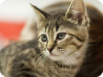Domestic Shorthair Kitten for adoption in Great Falls, Montana - Munchkin