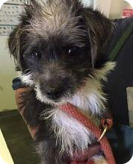 Terrier (Unknown Type, Small) Dog for adoption in Redondo Beach, California - Piper