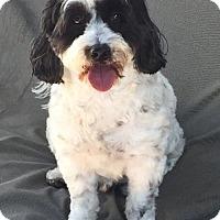 Cockapoo Dog for adoption in Costa Mesa, California - Bobby