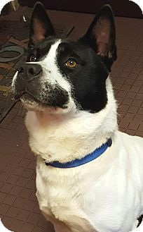 Australian Cattle Dog Mix Dog for adoption in West Hartford, Connecticut - Bruce