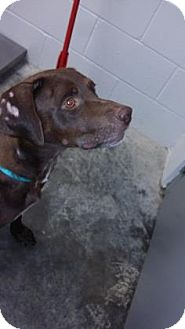Labrador Retriever Mix Dog for adoption in Paducah, Kentucky - Roxy