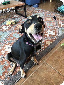 Doberman Pinscher Mix Dog for adoption in Fort Collins, Colorado - Rue (FORT COLLINS)