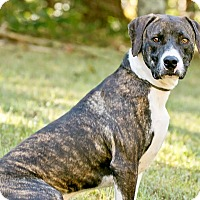Mountain Cur/Boxer Mix Dog for adoption in Cashiers, North Carolina - Rap Star