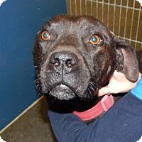 Adopt A Pet :: Baxter (HW Neg)* - Henderson, NC