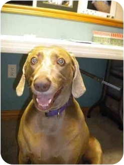 Weimaraner Dog for adoption in Eustis, Florida - Sophie