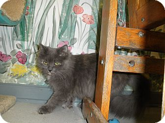 Domestic Longhair Cat for adoption in Milwaukee, Wisconsin - Zelda