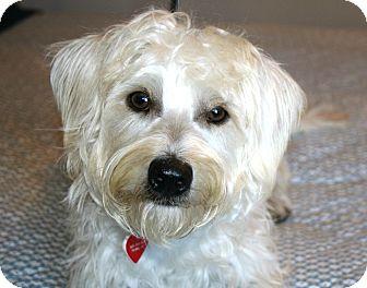 White schnauzer terrier mix