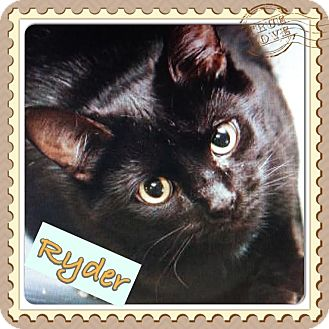 Domestic Shorthair Cat for adoption in East Brunswick, New Jersey - Ryder