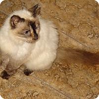 Adopt A Pet :: Brown Sugar - Bentonville, AR
