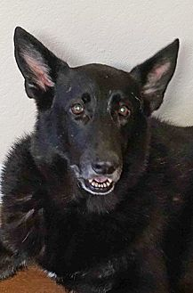 German Shepherd Dog Dog for adoption in Manor, Texas - Ace