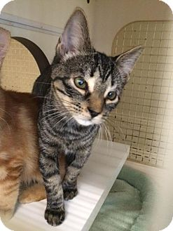 Domestic Shorthair Cat for adoption in Homestead, Florida - Mozart (courtesy Bridgette)