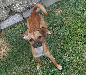 Chihuahua/Italian Greyhound Mix Dog for adoption in Walnut Creek, California - Emily
