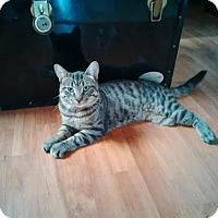 Domestic Shorthair Cat for adoption in Montreal, Quebec - Pirate