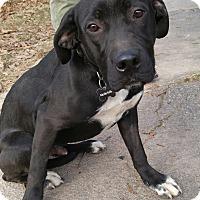 Adopt A Pet :: Clyde - Boston, MA
