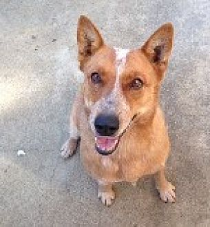 Australian Cattle Dog Dog for adoption in Pt. Richmond, California - AUBIN