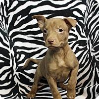 Adopt A Pet :: Cuba - Westminster, CO