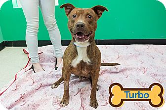Pit Bull Terrier Mix Dog for adoption in Franklin, North Carolina - TURBO