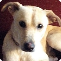 Adopt A Pet :: Cooper-adoption pending - Schaumburg, IL