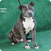 Adopt A Pet :: BULLET - Hanford, CA
