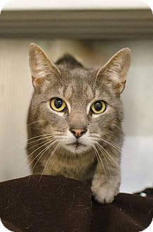 Domestic Shorthair Cat for adoption in Peace Dale, Rhode Island - Erik