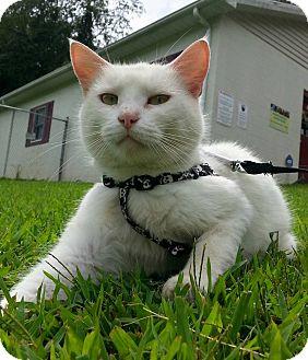 Domestic Shorthair Cat for adoption in Shinnston, West Virginia - Hello Kitty