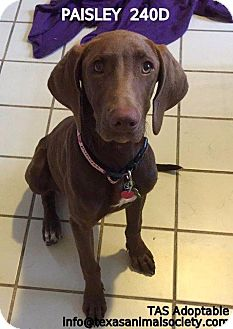 Weimaraner/Terrier (Unknown Type, Small) Mix Dog for adoption in Spring, Texas - Paisley
