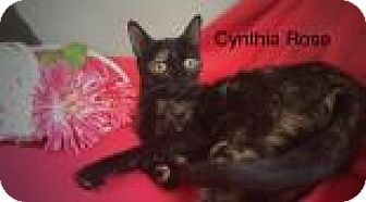 Domestic Shorthair Cat for adoption in Newport, Kentucky - Cynthia Rose